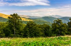 Beech forest of the Svydovets mountain ridge. Beautiful summer landscape of Carpathians, Ukraine Stock Image