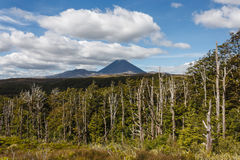 Beech forest at Tongariro National Park Royalty Free Stock Photo