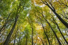 Beech Forest Trees Autum Kaapse Bossen Royalty Free Stock Photography