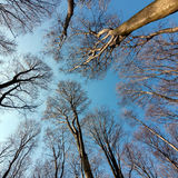 Beech forest treetops Stock Photo