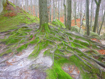 Beech forest. The beech forest in Ukraine Royalty Free Stock Images