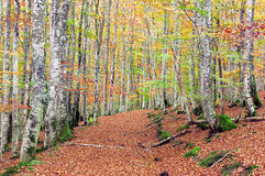 Beech forest with vivid colors and trail Royalty Free Stock Photos