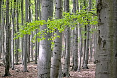 Beech Forest Stock Photos