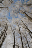 Beech forest in the winter Royalty Free Stock Photo