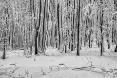 Beech forest in winter 2 Royalty Free Stock Photos
