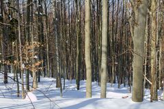 Beech forest in winter Stock Image