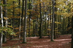 Beech Forests in Autumn Stock Photography