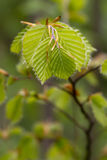 Beech fresh leaf. Bright green leafs of young birch Royalty Free Stock Photography