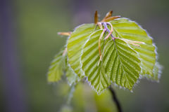 Beech fresh leaf. Bright green leafs of young birch Stock Photography