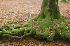 Beech in Gorbea Stock Photos