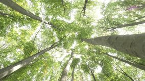 Beech green forest. Green young forest panorama view from the bottom up Summer wood green landscapes of the Carpathian Mountains of Ukraine Beech forest stock video footage