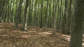 Beech green forest. Tracking Shot Through Forest Trees. Beech forest stock video footage