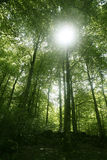 Beech green magic forest woods Stock Image