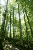 Beech green magic forest woods Stock Photos