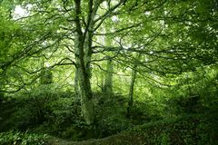 Beech green magic forest woods Royalty Free Stock Photos