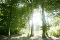 Beech green magic forest woods stock photo