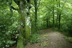 Beech green magic forest woods Royalty Free Stock Photo