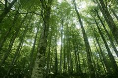 Beech green magic forest woods Royalty Free Stock Photography