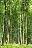 Beech green trees in spring  forest Stock Photo