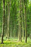 Beech green trees in spring  forest Stock Images