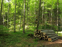 Beech grove with pile of logs Royalty Free Stock Photography