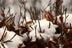 Beech hedge with newly fallen snow Stock Image