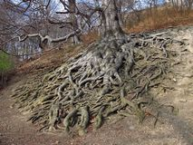 Beech with huge roots Stock Image