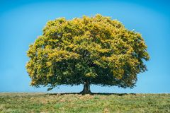 Beech. A large solitary beech in the meadow in autumn Royalty Free Stock Images