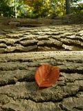 Beech leaf Royalty Free Stock Photo