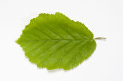 Beech leaf Stock Photos