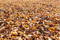 Beech leaf carpet on ground royalty free stock images