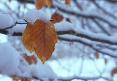 Beech leaf close-up, in snow Stock Photo