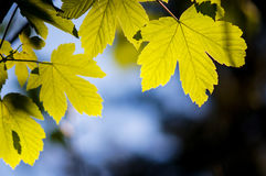 Beech leaf Royalty Free Stock Image