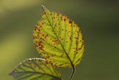 Beech leaf holds on. Winter. Macro. UK Stock Images