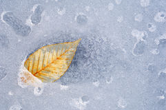 Beech Leaf in Ice Stock Photography