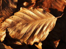 Beech leaf in late autumn. Withered beech leaf, late autumn Royalty Free Stock Photography