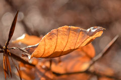 Beech leaf. A leaf lit by the sun Stock Images