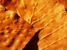 Beech leaf, macro (47) Royalty Free Stock Photography