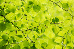 Beech Leaf pattern Stock Photos