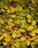 Beech Leaf texture background Royalty Free Stock Images