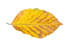 Beech leaf on a white background Royalty Free Stock Photography
