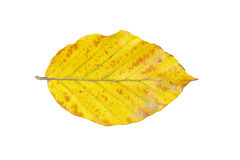 Beech leaf on a white background Stock Photo