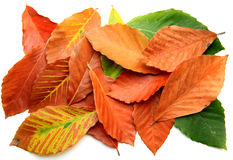Beech leafs Royalty Free Stock Photography