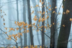 Beech leafs in winter woodland. Remaining beech tree leafs against Winter woodland background on a cold misty Winters day Royalty Free Stock Photos