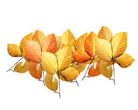 Beech leaves. Isolated on white Stock Image
