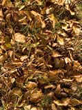 Beech leaves. Forest floor with beech leaves stock image