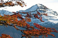 Beech leaves against the mountain Stock Photography