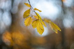 Beech leaves in autumn. During the autumn the beech leaves get their beautiful yellow-brown color, a beautiful contrast with a blue sky. A grateful fact to royalty free stock photos
