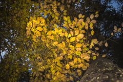 Beech leaves in autumn in the Cairngorms of Scotland. Stock Image