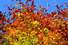 Beech leaves in autumn Stock Image